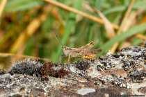 Es gibt Langfühler- und Kurzfühlerschrecken. Wenn das Insekt lange Hinterbeine hat, mit denen es davonspringen kann, dann ist der Oberbegriff dafür; die Heuschrecke.