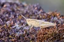 Kurzfühlerschrecken (Caelifera) Familie: Feldheuschrecken (Acrididae) Unterfamilie: Grashüpfer (Gomphocerinae) Gattung: Chorthippus Art: Feldgrashüpfer (Chorthippus apricarius)