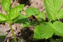 Bunte Pelzschwebfliege mit wissenschaftlichen Namen Eriozona syrphoides gehört zur  Ordnung der Zweiflügler - Familie der Schwebfliegen. Die Pelzschwebfliege kann mit einer Hummel, da die Tarnung äußerst raffiniert ist, verwechselt werden.