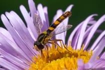 Die Langbauchschwebfliegen gehören zur Familie der Zweiflügler und besitzen die Mimikry (Tarnung) von Wespen. Bei dieser Art Schwebfliege ist der Hinterleib länger als die Flügel. Die Langbauchschwebfliege ist eine der größten Schwebfliegen mit zehn bis zwölf Millimeter Körperlänge und man kann sie von Mai bis September im Garten und an Biotopen beobachten. Weltweit sind mittlerweile 6000 verschiedene Arten der Schwebfliege (Schwirrfliege) bekannt, in Europa sind 500 Arten davon beheimatet. Eine Schwebfliege besitzt die Fähigkeit, auch bei hohem Luftwiderstand, auf der Stelle zu schweben, dabei kommen ausgewachsene Schwebfliegen auf 300 Flügelbewegungen pro Sekunde.