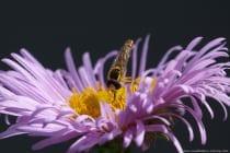 Schwebfliegen sind nicht in der Lage zu stechen, denn wie der Name schon sagt gehören die Zweiflügler zu den Fliegen mit dem besonderen Merkmal der Mimikry und auf der Stelle schweben zu können. Ihre Tarnung, die ihren Feinden eine Gefährlichkeit vortäuschen soll, ist sehr abwechslungsreich und reicht von der Hummel, Wespe bis hin zur Tarnzeichnung einer Biene. Eine Schwebfliege (Bild: Langbauchschwebfliege) ernährt sich von Pollen und Nektar, dabei kann eine Schwebfliege die Nahrung flüssig aufnehmen oder sie zerbeißt es.