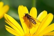 Schwebfliege. Sie nutzen die Mimikri (Tarnung) gefährlicher Zweiflügler wie Wespen, Bienen und Hornissen.