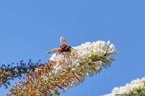 Die Larven entwickeln sich in Nestern von Hornissen und Wespen. Es ist unklar, warum die Eindringlinge nicht erkannt und vertrieben werden. Vermutet wird ein eventueller Duft, den die Schwebfliegen als Tarnung und Besänftigung im Fremdnest verbreiten. Sie ernähren sich von toten Insekten und von zerfallenden organischen Substanzen und nehmen so eine Art Hygiene im Nest vor.