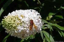 Die Hornissenschwebfliege ist nicht besonders häufig anzutreffen und im Jahre 2003 von der roten Liste der gefährdeten Insekten genommen. Die Schwebfliegenart ist von Mai bis September anzutreffen.