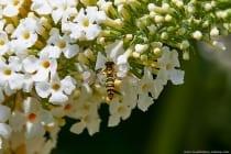 Von März bis Oktober können die Schwebfliegen angetroffen werden, dabei ernähren sich die Fliegen, welche nur eine Gefährlichkeit vortäuschen, von Pollen und Nektar. Das Weibchen hat zum Männchen einen elliptisch geformten Hinterleib, wie auf dem Bild zu sehen. Das Männchen hat einen kolbenartigen Hinterleib.