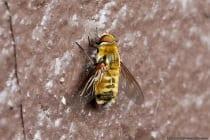 """Von Mai bis Oktober ist die Hottentottenfliege mit wissenschaftlichem Namen Villa hottentotta, welche das Aussehen """"Mimikry"""" einer Hummel nachahmt, häufiger anzutreffen. Die ungefährliche Fliege aus der Familie der Wollschweber hat eine Größe von 10 bis 20 Millimeter und eine ähnliche Flugweise wie ein Kolibri. Die Zweiflügler gehören zur Klasse der Insekten und besitzen einen kugeligen Kopf mit einem kurzen Saugrüssel. Die Schweber ernähren sich von Pollen und Nektar."""