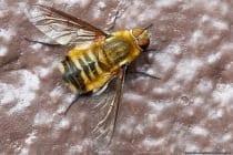 Die Schweber rasten auch gerne auf Stellen, wo sie sich ein Sonnenbad genehmigen können. An Wegrändern, Gärten, Wiesen und an lichten Wäldern ist die Hottentottenfliege anzutreffen. In Asien, Europa und Nordafrika ist diese Art beheimatet. Bedrohlich sind die Wollschweber nicht für uns Menschen, allerdings für andere Insekten. Die Vermehrung der Fliegen mit dem Aussehen einer Hummel erfolgt parasitisch, wobei die Kinderstube anderer Insekten ausgeräubert wird.