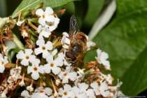 Die Mistbiene mit wissenschaftlichen Namen Eristalis tenax gehört zur Insektenordnung der Zweiflügler und ist eine Schwebfliege, auch bekannt unter Steh- und Schwirrfliege. Den Namen hat die Schwebfliege bekommen, da sie häufig in der Nähe von Misthaufen auftreten. Am zweiten Segment des dunkelbraunen Hinterleibs ist eine keilförmige gelbe, orange oder rötlich-gelbe Zeichnung, welche sehr unterschiedlich sein können.