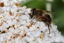Die Mistbiene, Schlammbiene oder Keilfleckschwebfliegen mit wissenschaftlichen Namen Eristalis tenax sind eine häufige Schwebfliegenart mit einem bienenähnlichen Aussehen. Besonders in ländlichen Gebieten ist diese Schwebfliegenart besonders verbreitet. Die Flugzeit ist von März bis Oktober und an warmen Wintertagen kann Sie auch zu sehen sein.