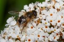 Die Zeichnung der Keilfleckschwebfliegen, Schlammbienen und Mistbienen, welche eine Körperlänge von 14 bis 18 Millimeter erreichen können, ist sehr unterschiedlich.