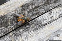 """Die Igelfliege mit wissenschaftlichen Namen """"Tachina fera"""" gehört zu den Raupen- und Schmarotzerfliegen, welche mit weltweit 8000 Arten artenreich vorhanden ist. Die Igelfliege ähnelt der Körperform einer Stubenfliege und hat eine Körperlänge von zirka 10 bis 15 Millimeter. Der Abdomen """"Hinterleib"""" ist gelborange gefärbt mit einer schwarzen Zeichnung, die obenliegend wie eine Art Mittelstreifen mit leichten Zacken am äußeren Rand aussieht. [EOS5D Mark4   ISO400   f10   1/160s   100mm Macro]"""