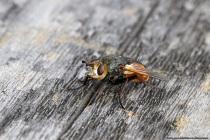 Der Kopf der Igelfliege ist gelblich gefärbt mit zwei Fühlern, wobei ein Teil von dem Fühlerglied gelborange in Erscheinung tritt. Am Körper befinden sich auffällig lange und schwarze dornförmige Borsten. Die Igelfliege ernährt sich überwiegend von Nektar und Honigtau. Weder die Borsten noch die Igelfliege selbst ist für den Menschen gefährlich. [EOS5D Mark4   ISO640   f10   1/250s   100mm Macro]