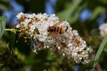 Die Hornissenschwebfliege mit wissenschaftlichen Namen Volucella zonaria erreicht eine Körpergröße von 15 bis 25 Millimetern. Sie gehört zu der Familie der Schwebfliegen und kann Dank Ihrer Flügelschlagfrequenz von 300 Schlägen in der Sekunde eine längere Zeit an der gleichen Stelle schweben. [EOS5D Mark4   ISO640   f10   1/1250s   100mm]
