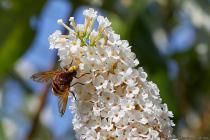 Die Hornissenschwebfliege hat weitere Namen wie Große Waldschwebfliege, Riesen-Hummelschwebfliege oder Gürtelschwebfliege. [EOS5D Mark4   ISO640   f10   1/1250s   100mm]