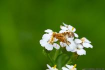 """Die Schafgarben Bohrfliege mit wissenschaftlichen Namen Oxyna flavipennis gehört zur Insektenordnung der Zweiflügler """"Diptera"""" und zur Familie der Bohrfliegen """"Tephritidae""""."""