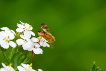 Bohrfliegen erreichen üblicherweise eine Körpergröße von 2,5 bis maximal 10 Millimeter und in Deutschland kommen 110 Arten vor. Die Schafgarben-Bohrfliege hat eine Körpergröße von 4 bis zirka 6 Millimeter und um diese zu entdecken, muss man schon genauer hinschauen. Die schwarzen Flügel der Fruchtfliege besitzen arttypische und runde Flecke, welche variabel und auffällig gestaltet sind.