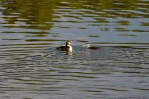 Zirka ab Mai können die gefleckten Jungvögel der Haubentaucher bei den ersten Ausflügen mit den Eltern beobachtet werden. Ein Haubentaucher kann ein Alter von 15 Jahren erreichen.