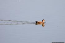Die Schnatterente mit wissenschaftlichen Namen Mareca strepera ist auch als Mittelente oder Knarrenente bekannt.  Der Vogel aus der Familie der Entenvögel erreicht eine Körpergröße von 45 bis 55 Zentimetern bei einem Gewicht von 500 bis 1300 Gramm. Im Prachtkleid hat das Männchen, wie auf dem Bild zu sehen, einen schwarzen Schnabel und das Gefieder ist grau bis braun und der Kopf ist hellbraun mit rotbrauner Zeichnung.