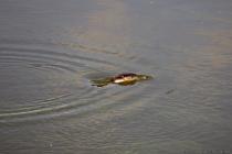 Haubentaucher auf den Weg unter Wasser.