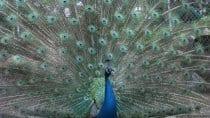 Die fasanenartige Vogelart stammt ursprünglich aus dem indischen Raum und kann fliegen, wenn auch nicht weit und hoch. Die blauen Pfaue sind in Indien beliebt, da Sie junge Schlangen fressen.
