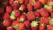 Reife Erdbeeren als Desktophintergrund. Die Erdbeersaison kann schon Anfang Mai starten, wobei die Erdbeerzeit wetterabhängig ist und sich die Erdbeersaison auch auf Ende Juli verschieben kann.