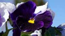 Aus der Gattung der Veilchen. Die Blume des Gedenkens und der Erinnerung.