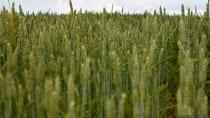 Das Getreide Weizen, als Weichweizen und Hartweizen, erreicht eine Wuchshöhe bis zu einem Meter.