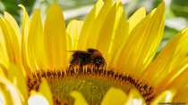 Eine Hummel auf einer Sonnenblume ganz eingestäubt von Pollen.