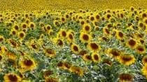 Die Sonnenblume gehört zum Sommer wie die Sonne