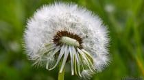 """Taraxacum sect. Ruderalia. Die Pusteblume produziert Milchsaft, ein milchig aussehendes und flüssiges Sekret. Bevor die eigentliche """"Pusteblume"""" entsteht bildet der Löwenzahn eine dottergelbe Scheinblüte mit schützenden Blättern. Diese wird tagsüber, sowie bei schönem Wetter geöffnet und verschließt sich Nachts, bei Regen und Trockenheit."""