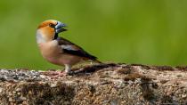 Der Finkenkönig ist ein kleiner Raufbold.