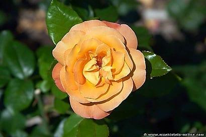 Bilder Rosen, Buschrosen und Pfingstrosen