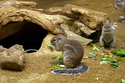 Borstenhörnchen