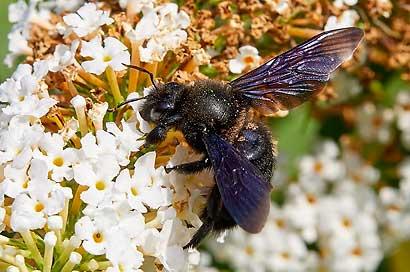 Die Honigbiene und die Makrofotografie