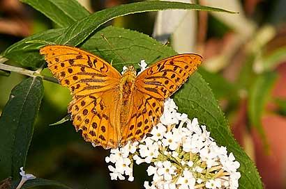 Schmetterlingsfotografie, Makrofotografie