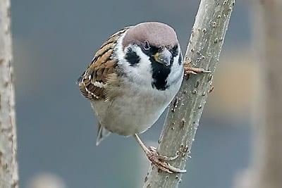 Sperlingsvogel