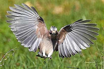 Der Eichelhäher, ein Waldvogel und Waldfreund.