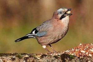 Eichelhaeher. ein Sing- und Sperlingsvogel
