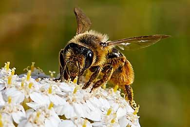 Digitale Fotografie von Bienen