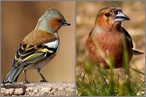 Sperlingsvogel, Familie der Finken