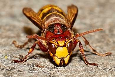 Echte Wespen und die Makrofotografie