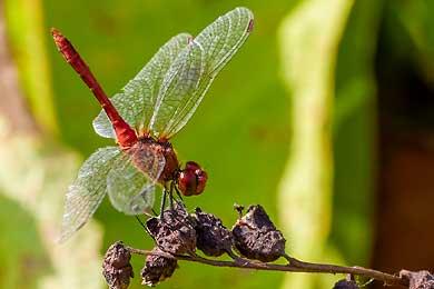 Libellen, unsere Urbewohner.