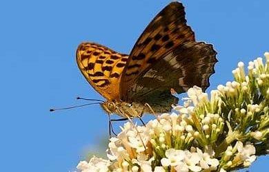 Schmetterlinge, Falter und Schwärmer digital fotografiert