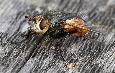 Schwebfliegen – Zweiflügler mit gefährlichem Aussehen.
