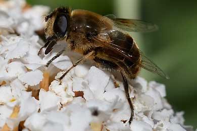 Digitale Fotos von Schwebfliegen, Schwirrfliegen und Stehfliegen.